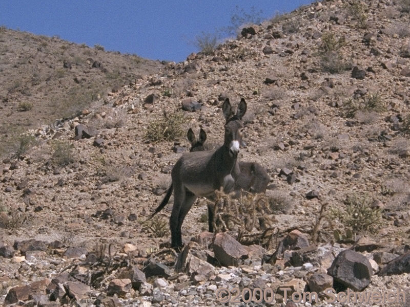 Two burros in the Whipple Mountains.