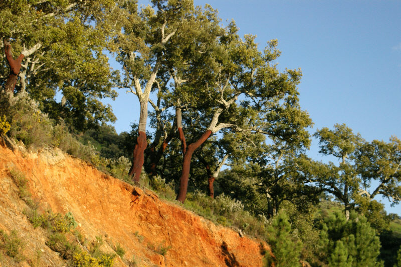 Cork Oaks between Jubrique and Algatocin