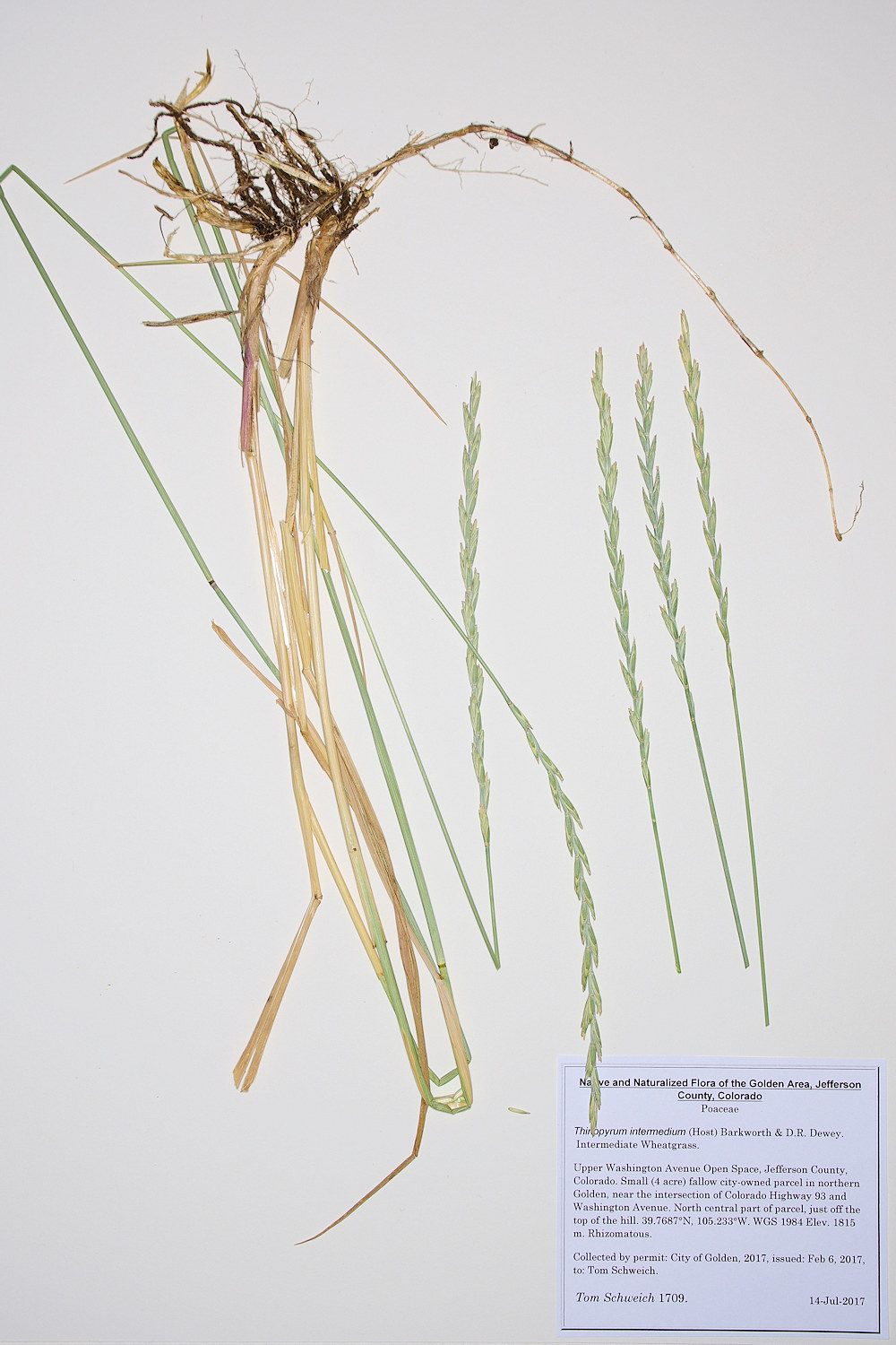 Poaceae Thinopyrum intermedium