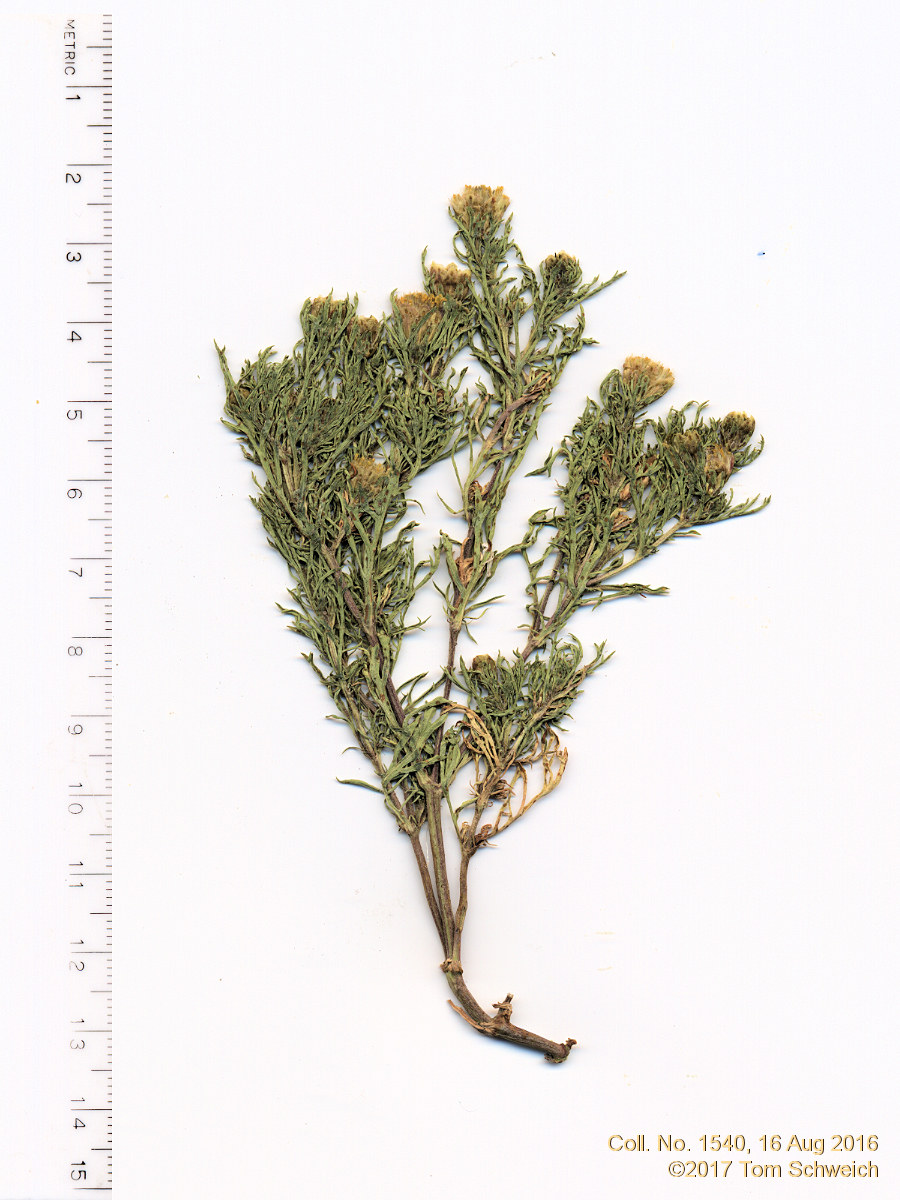Asteraceae Dyssodia papposa