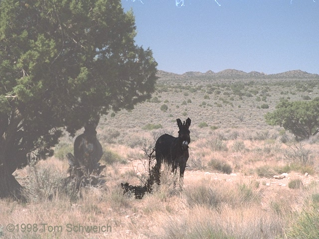 Two burros (<i>Equus assinus</i>) along Cedar Canyon Road
